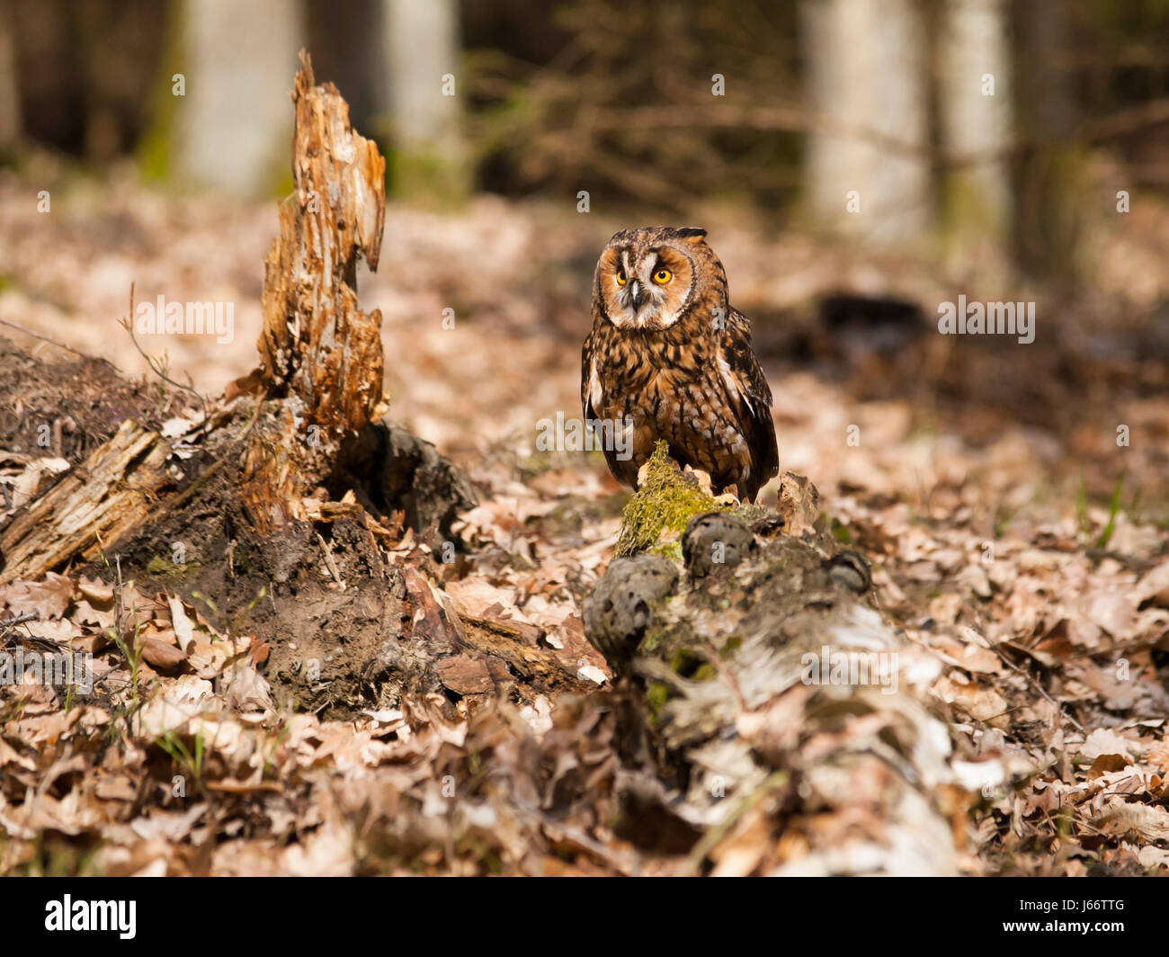 Long-eares owl siting on stump in forest - Asio otus - Stock Image