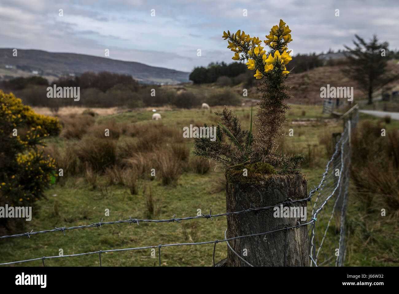 Gorse bush seedling growing on the top of a fence post at Glendale, Isle of Skye, Scotland. - Stock Image