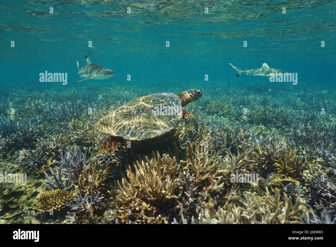 Shallow coral reef underwater with an hawksbill sea turtle and blacktip reef sharks, south Pacific ocean, New Caledonia Stock Photo