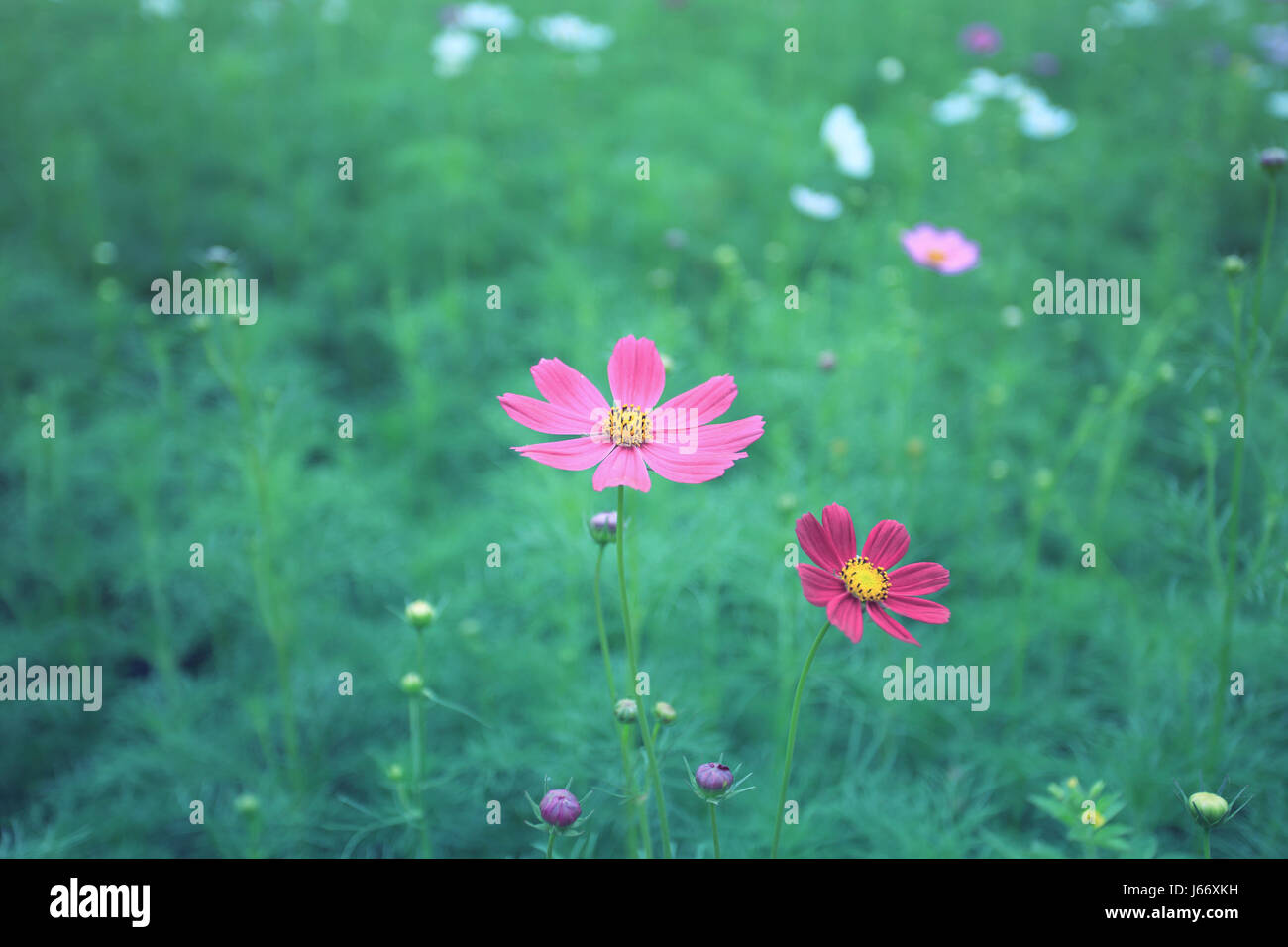 beautiful magenta cosmos flower in blur green field background with warm tone color process - Stock Image