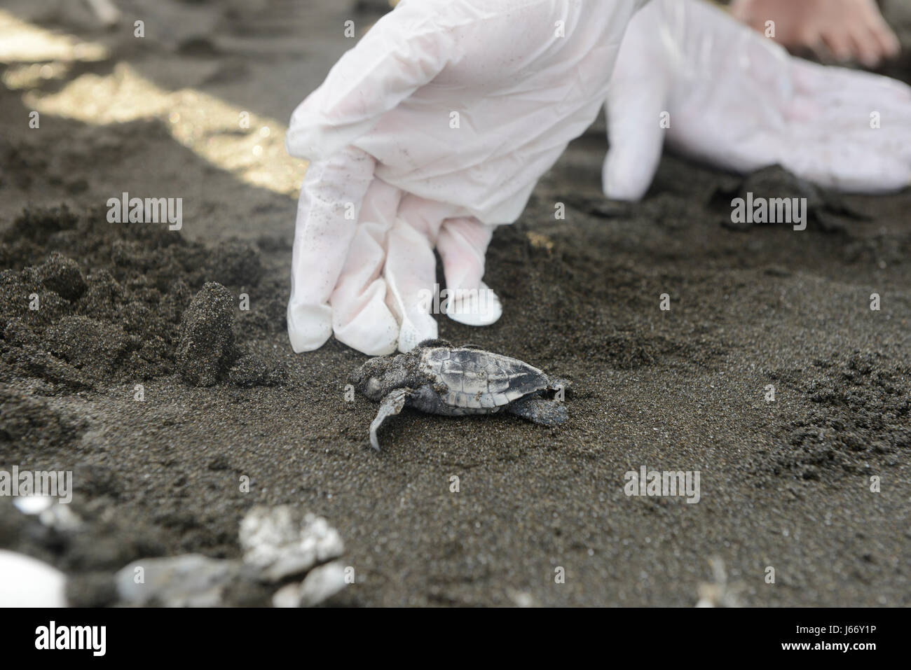 Olive Ridley sea turtle hatchlings (Lepidochelys olivacea) are released at the Punta Mala Wildlife Refuge on Costa - Stock Image