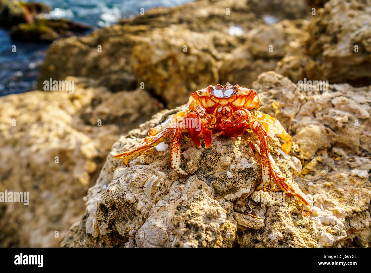 Dead Hermit Crab sitting on the rocks of the shoreline at the resort community of Ko Olina on the West Coast of - Stock Image