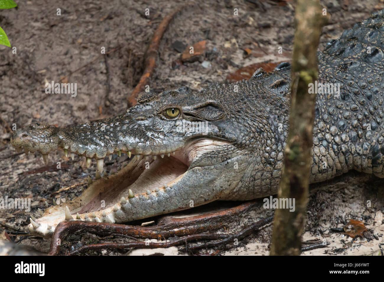 Saltwater crocodile (Crocodylus porosus) lies basking in Sungei Buloh Wetland Reserve in Singapore - Stock Image