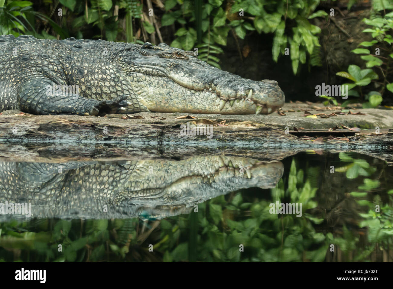 Saltwater crocodile (Crocodylus porosus) basking in sun, with reflection in the calm surrounding water. - Stock Image