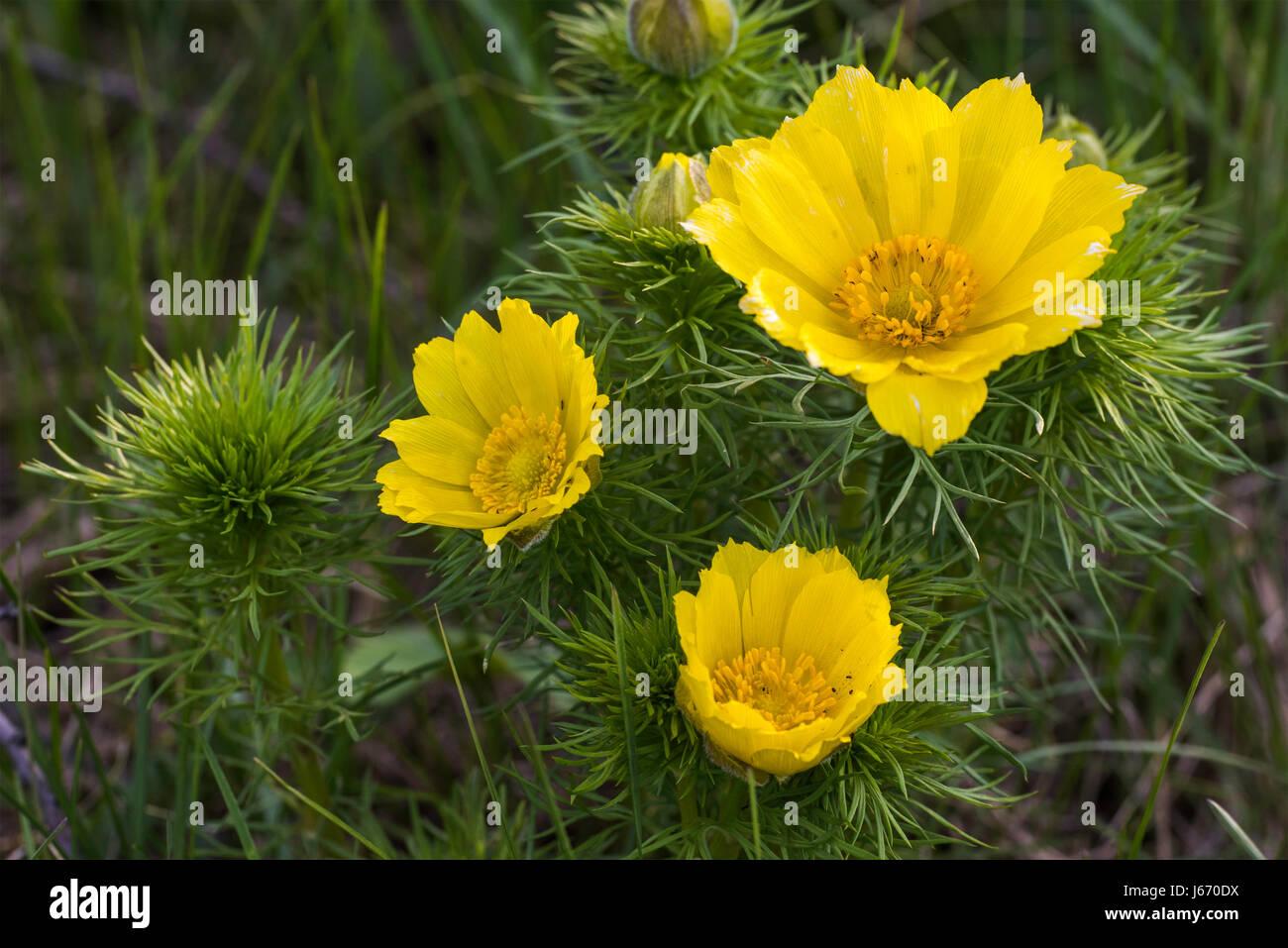 Adonis Spring Goricvet Starodubka Spring Flowers Stock Photo