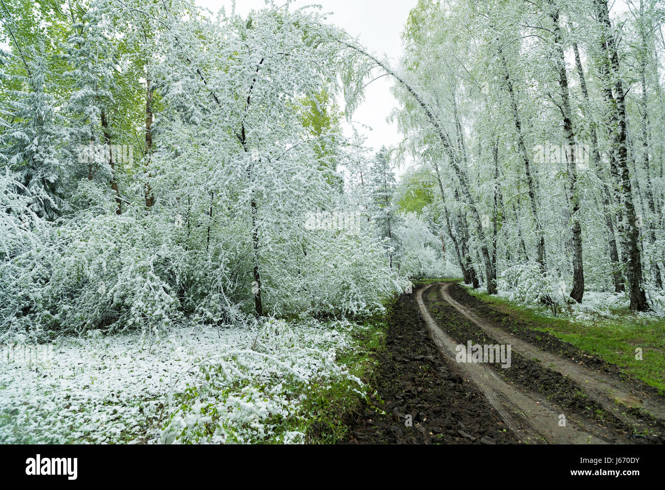Green leaves of the trees and grass covered with snow - Stock Image