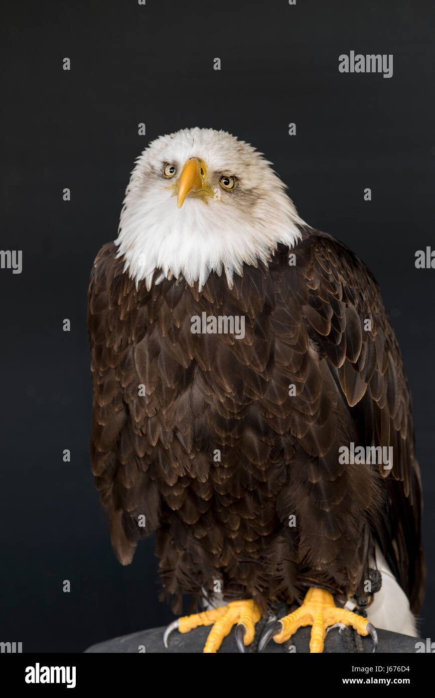 portrait of bald eagle against a dark background with his head cocked to one side (viewers rightsize). - Stock Image
