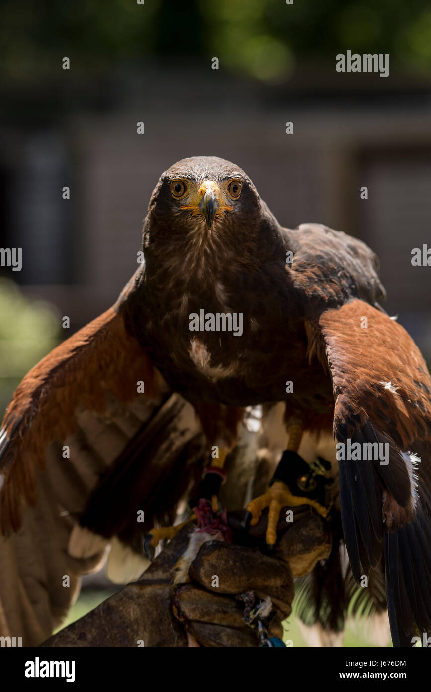 Harris Hawk just finished feeding and still has his wings pointed downward Stock Photo