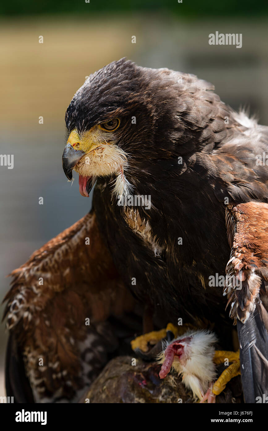 A Harris Hawk feeding with his wings pointed downward Stock Photo