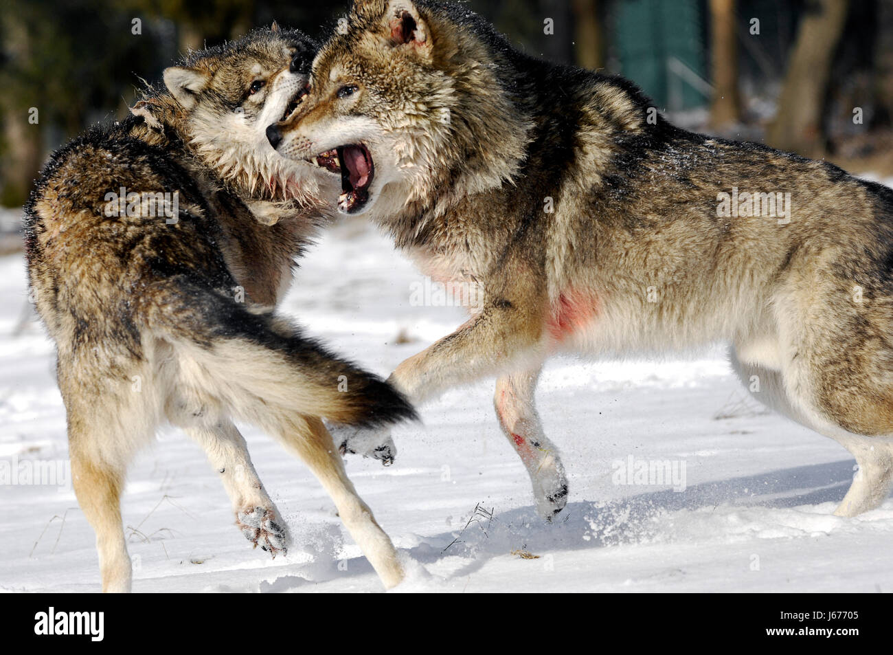 Fight Fighting Winter Wolf Wolves Hierarchy Battles Snow Fight Stock Photo Alamy
