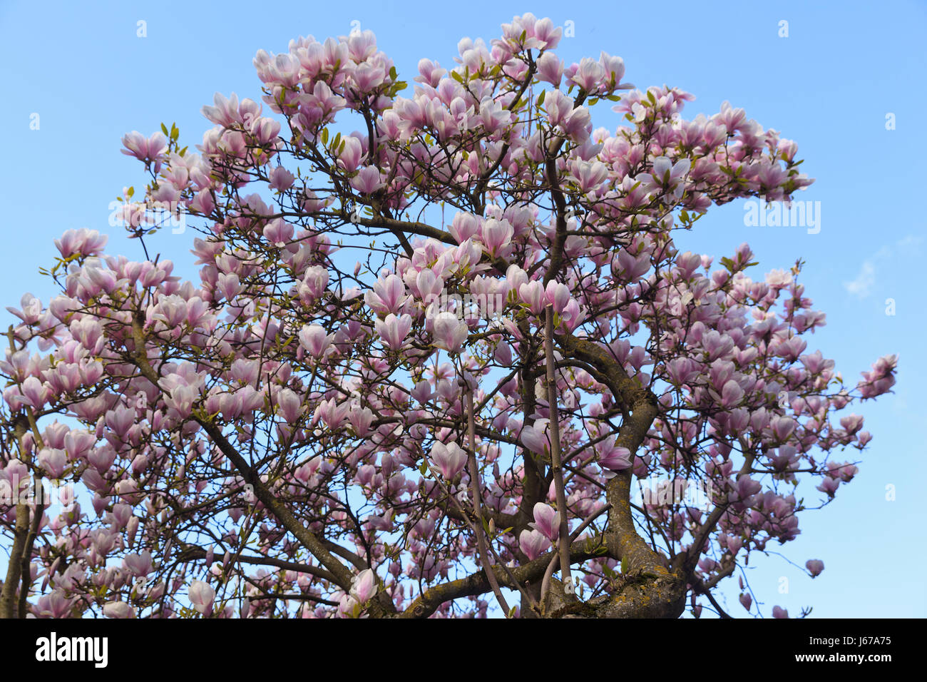 Pink Magnolia Tree In Full Bloom Stock Photo 141532585 Alamy