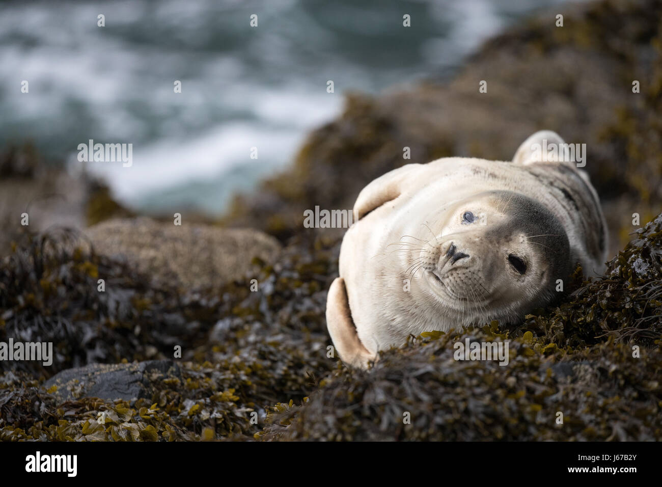 Juvenile Grey Seal (Halichoerus grypus) sunbathing on rocks and seaweed in the morning spring sun, Skomer, Wales, Stock Photo