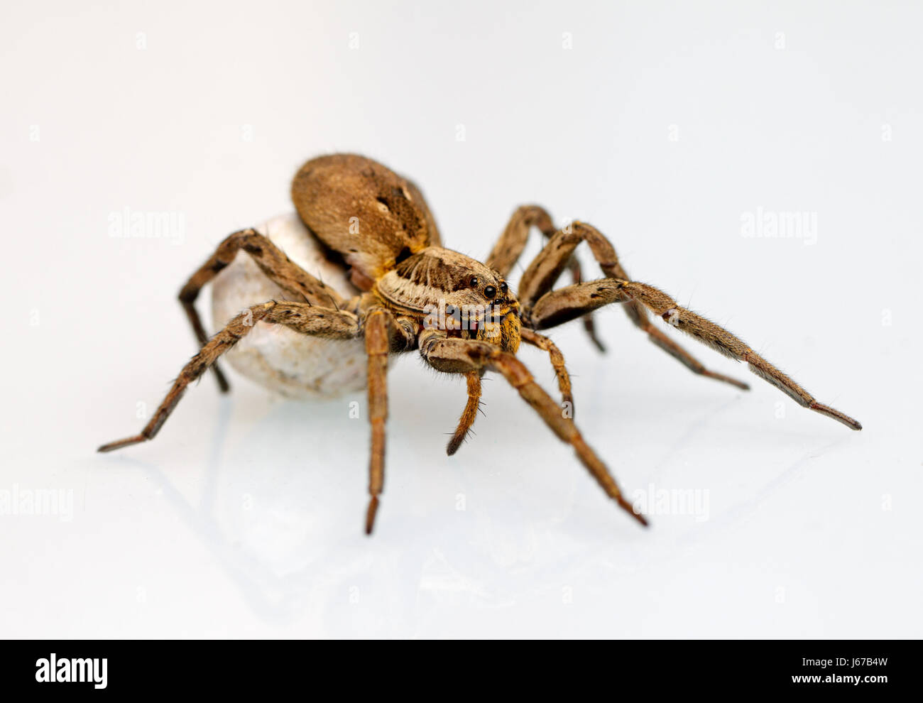 Photo of a giant and dangerous  spider - Stock Image