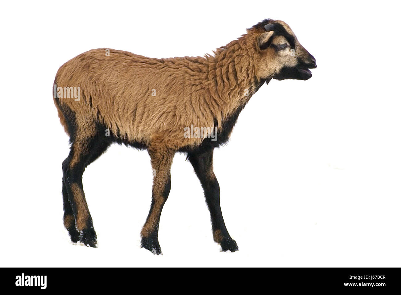 winter sheep lame cameroon isolated brown brownish brunette black swarthy - Stock Image