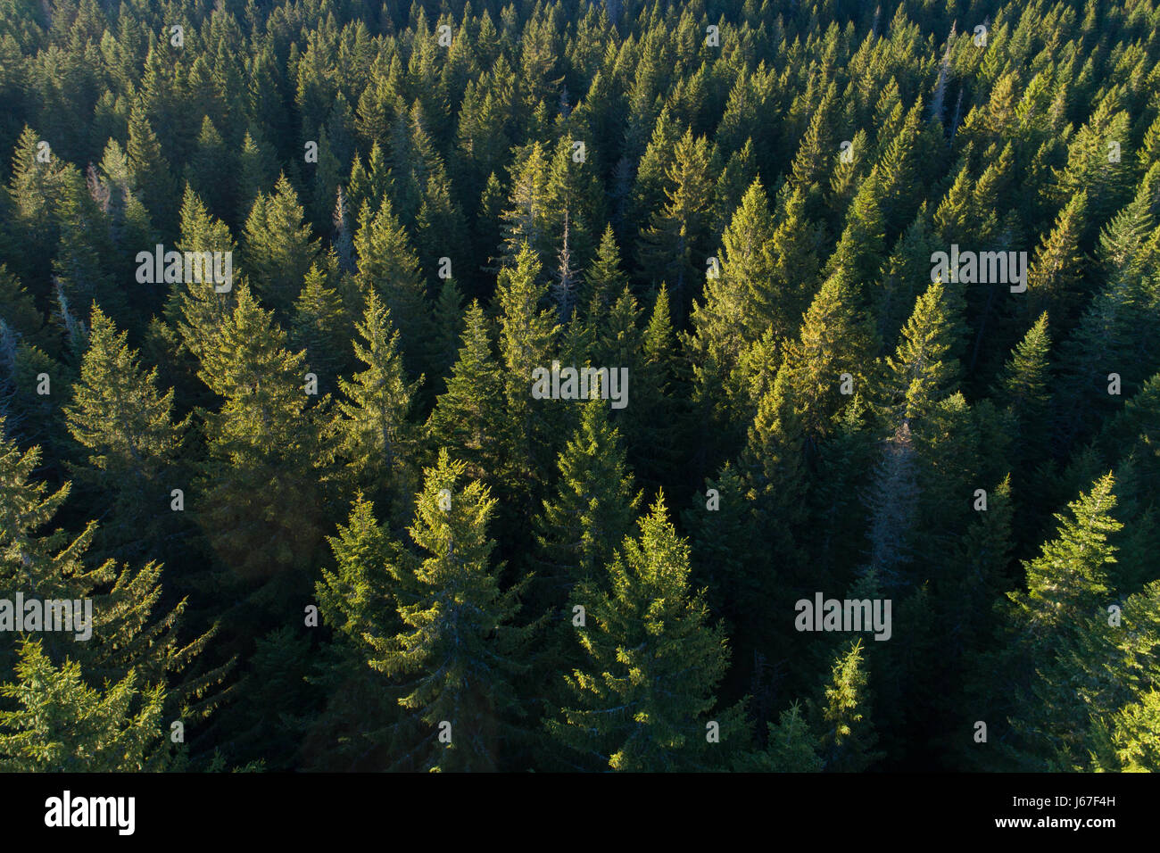 Aerial view of evergreen trees. - Stock Image