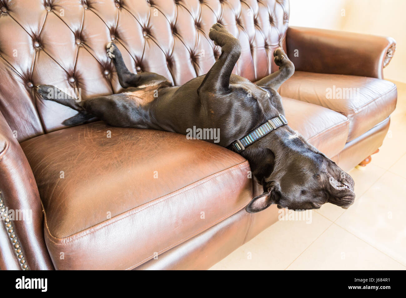 A black staffordshire bull terrier dog asleep on a brown vintage style leather sofa. He is lying on his back with - Stock Image