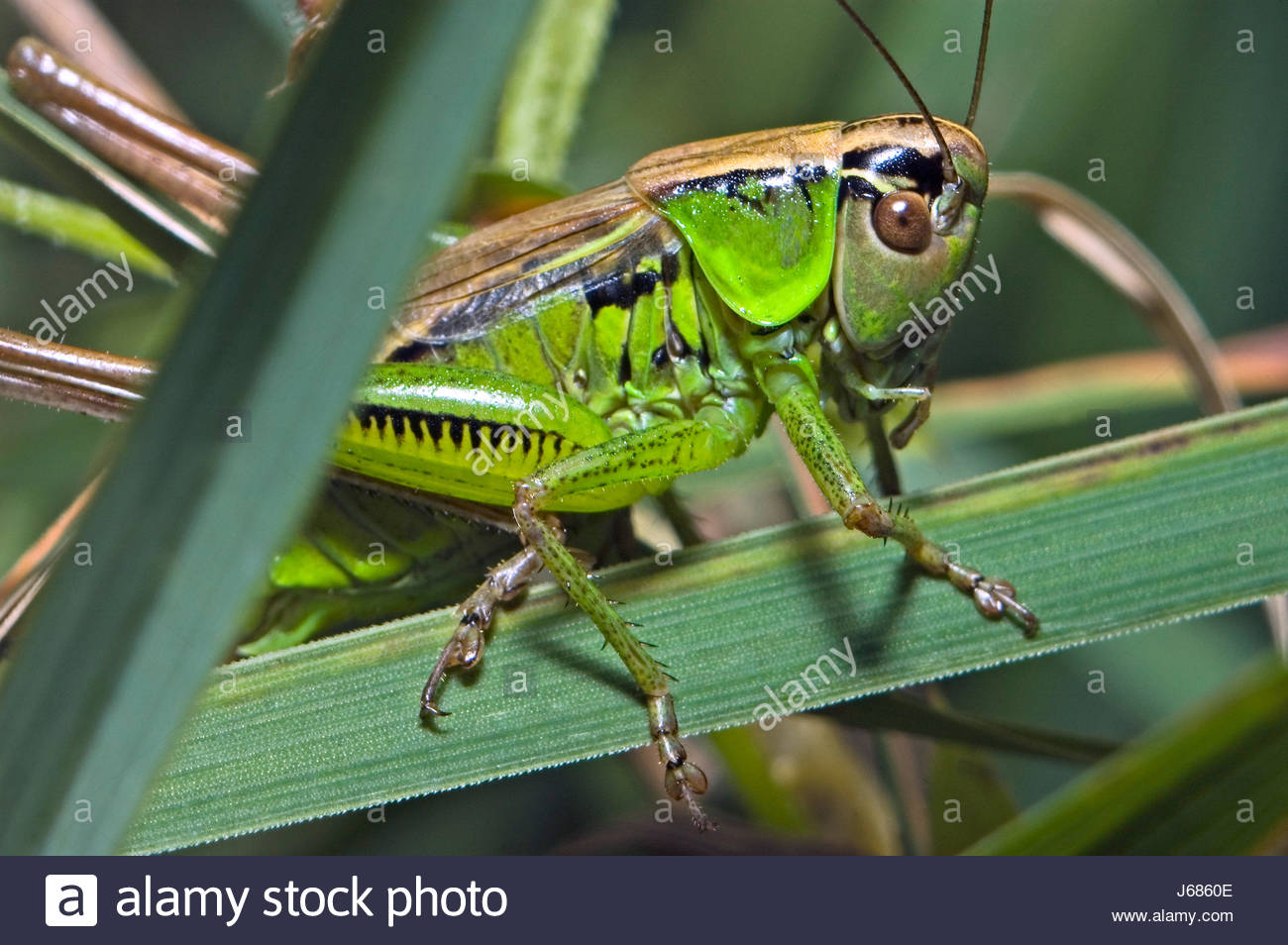 insects grasshopper masked legs eyes lateral claws hide camouflage grasshopper - Stock Image
