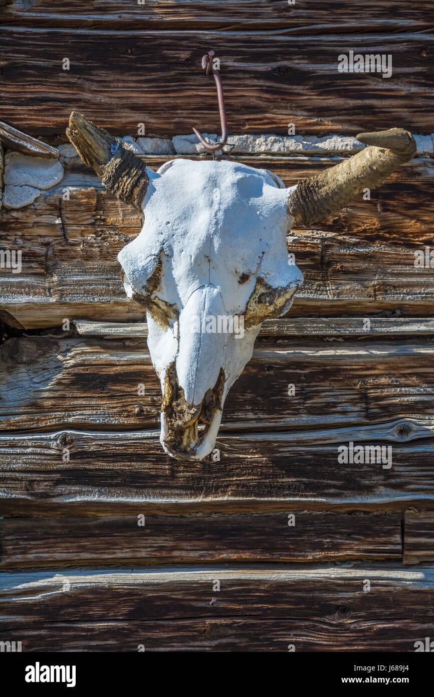 Cow skull on log cabin at Spring Creek Ranch in Paradise Valley, Montana. - Stock Image