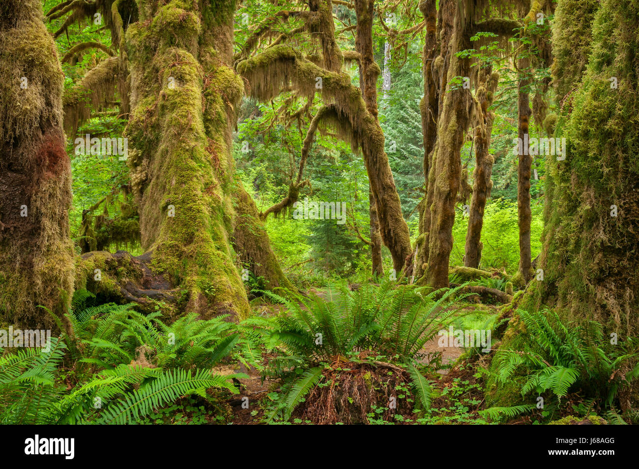 Ferns, mosses and Bigleaf maple trees, Hall of Mosses Trail, Hoh Rainforest, Olympic National Park, Washington. - Stock Image