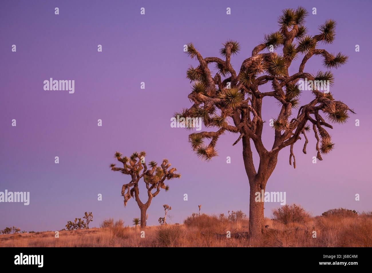 Joshua trees at dusk; Joshua Tree National Park, California. - Stock Image