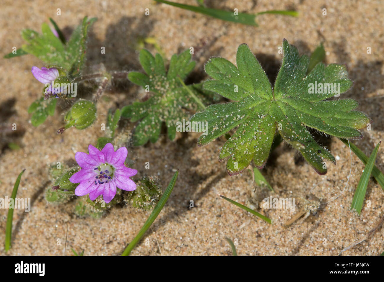 Dove's-foot Cranesbill (Geranium molle) flower - Stock Image