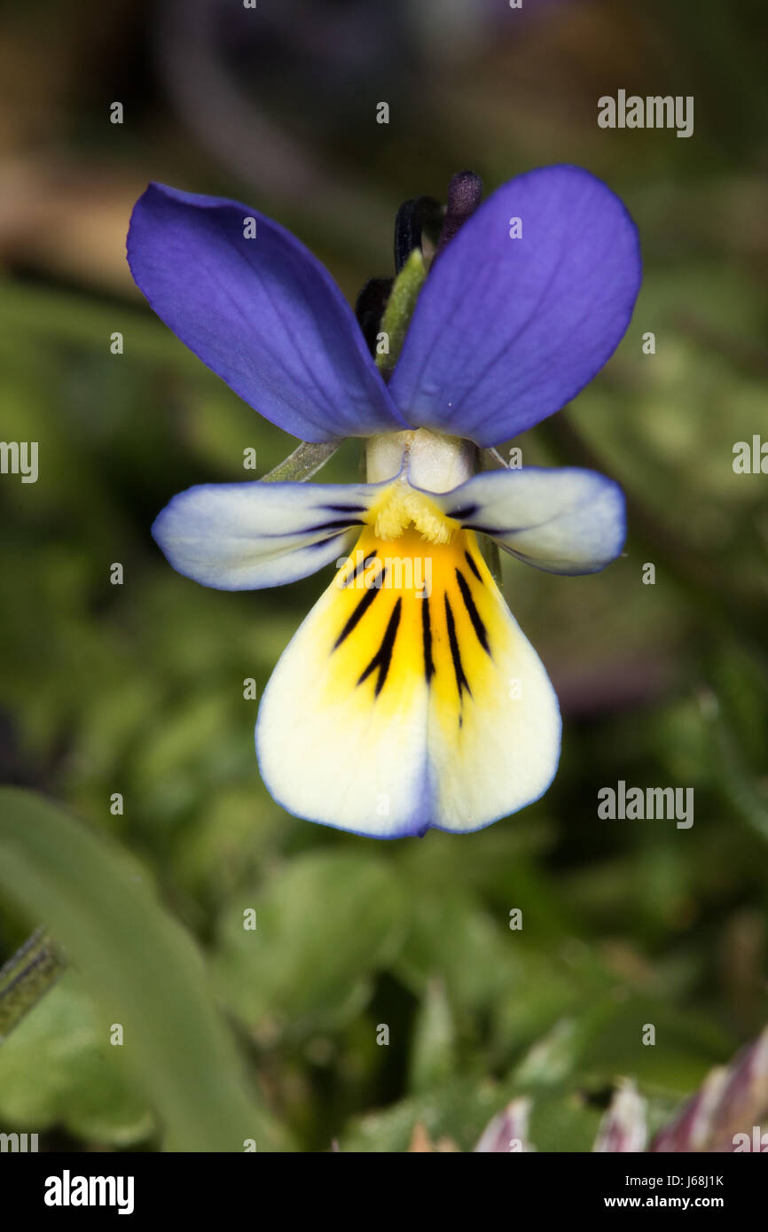 Dune Pansy (Viola tricolor ssp. curtisii) - Stock Image