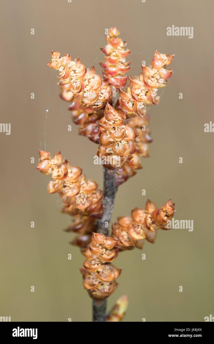 Bog-myrtle (Myrica gale) flowers - Stock Image