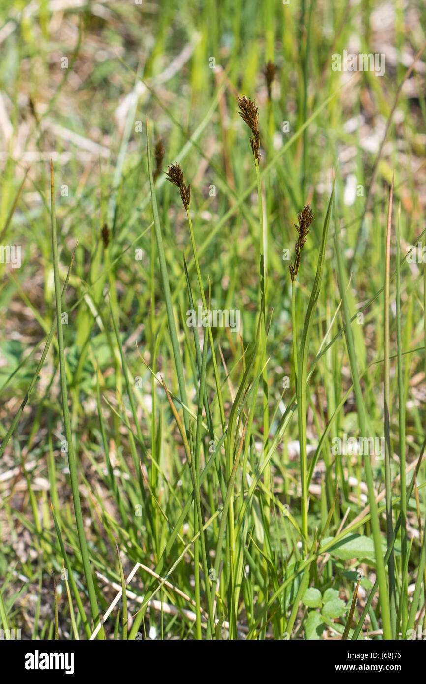 Spring Sedge (Carex caryophyllea) - Stock Image