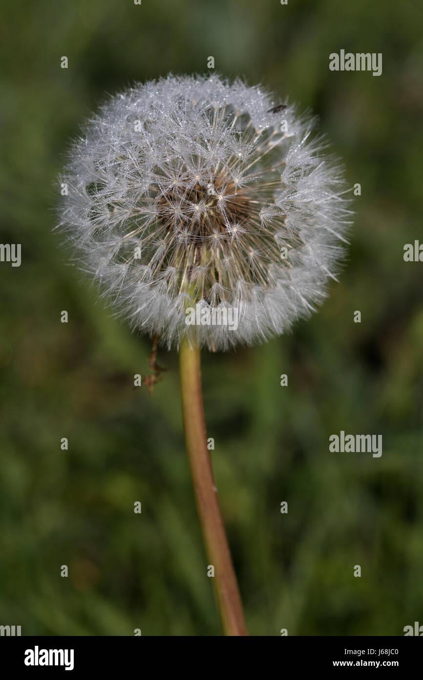 Dandelion 'clock' seedhead (Taraxacum spp.) - Stock Image