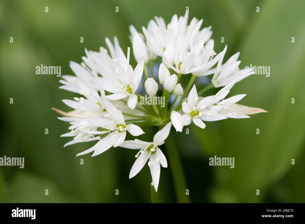 Ramsoms (Allium ursinum) flower - Stock Image