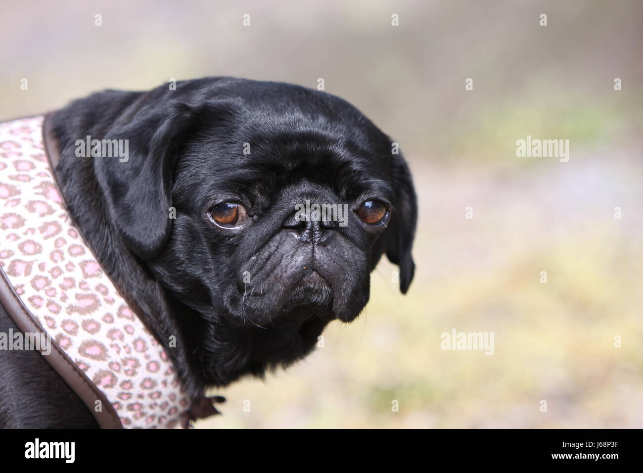 black pug - Stock Image
