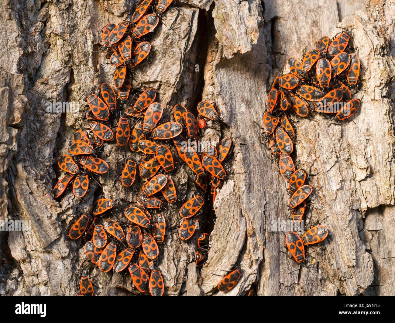 Firebug - Pyrrhocoris apterus - Stock Image