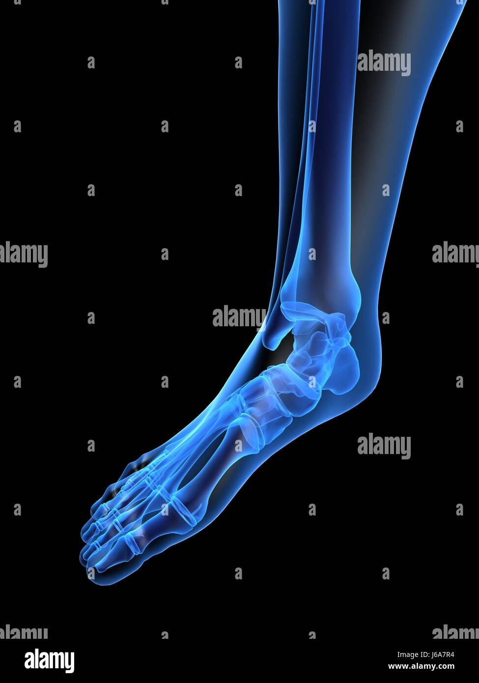 health medicinally medical human human being foot bone anatomy x-ray ...