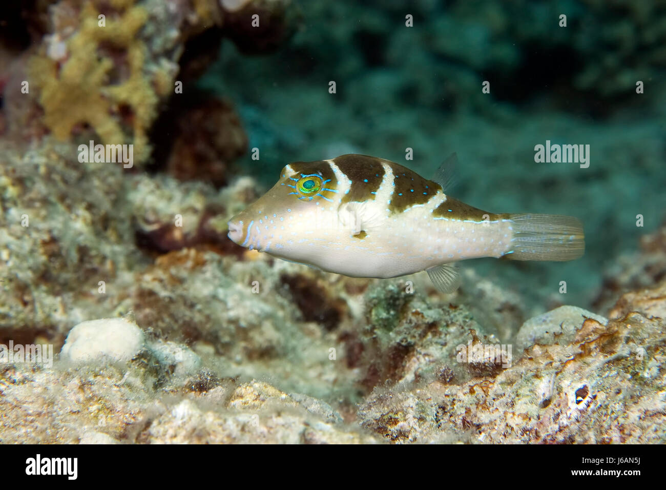 blue animal fish underwater exotic wet tropical navy marine diving aquatic Stock Photo