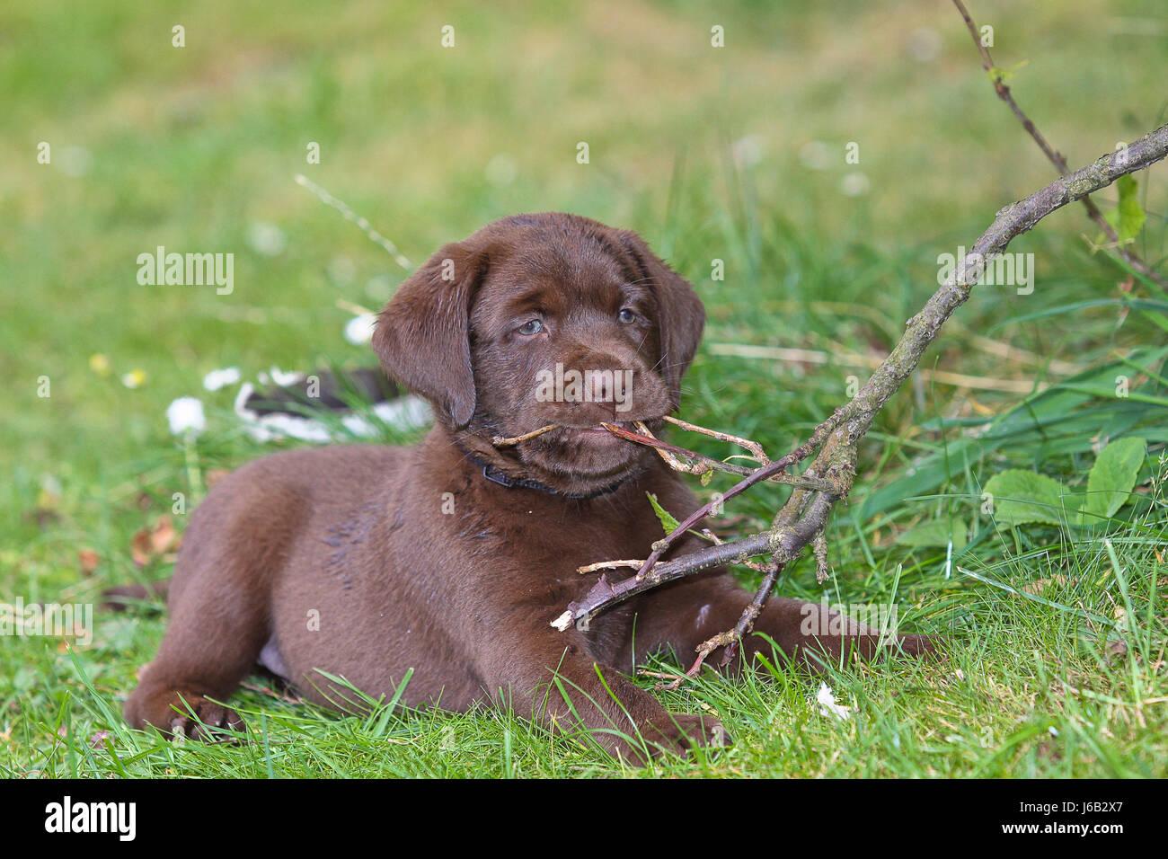 Chocolate Labrador Puppy 6 Weeks Old Stock Photo Alamy