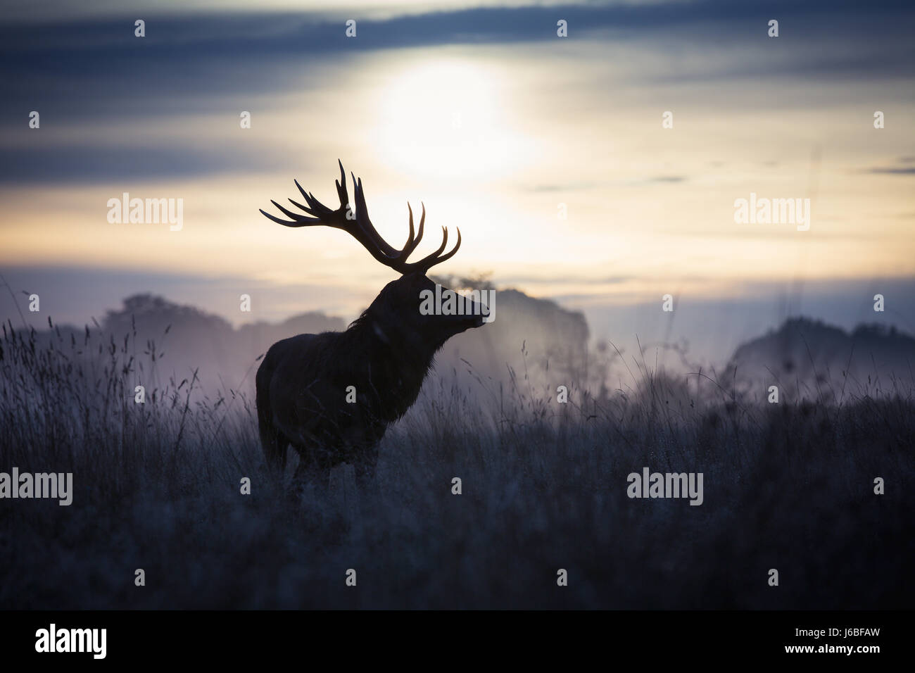 Stag at dawn in Richmond Park - Stock Image