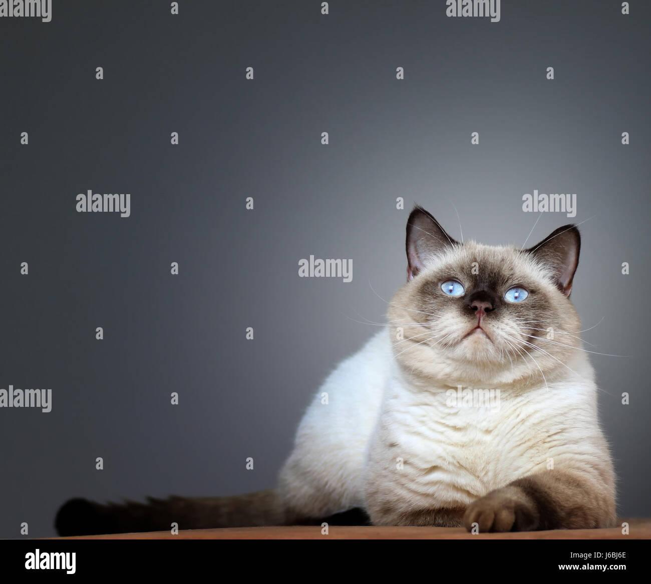british britisch briton pussycat cat domestic cat pet skin expression british Stock Photo
