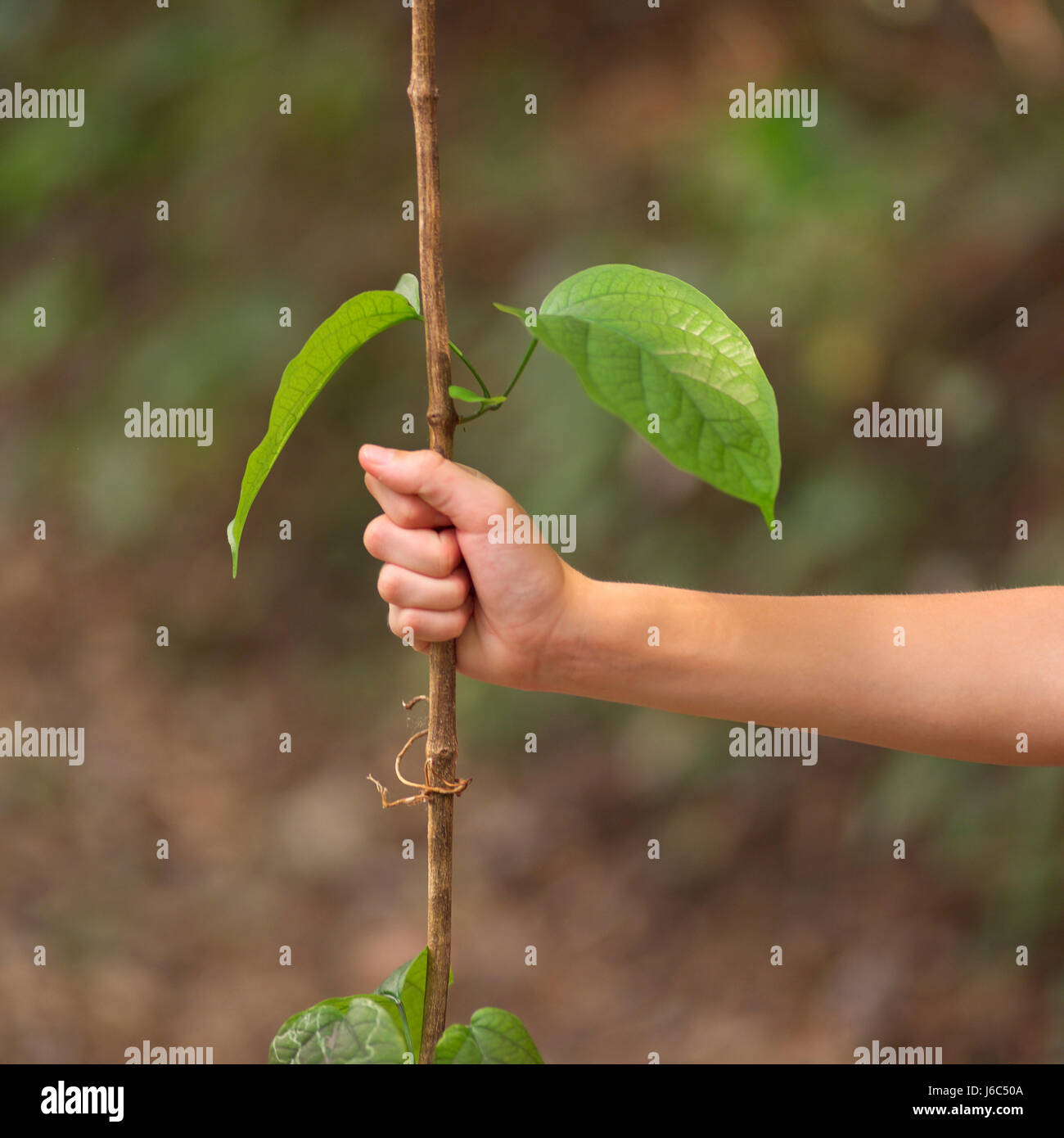 hand hands leaf leaves central america sticks hold grab grasp stalk stem limbs Stock Photo
