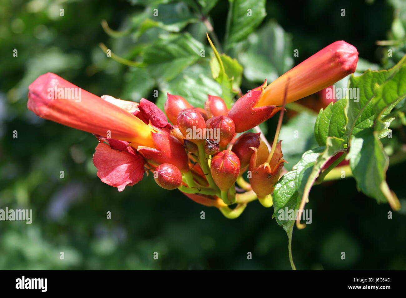 flower plant bloom blossom flourish flourishing bud orange macro close-up macro Stock Photo