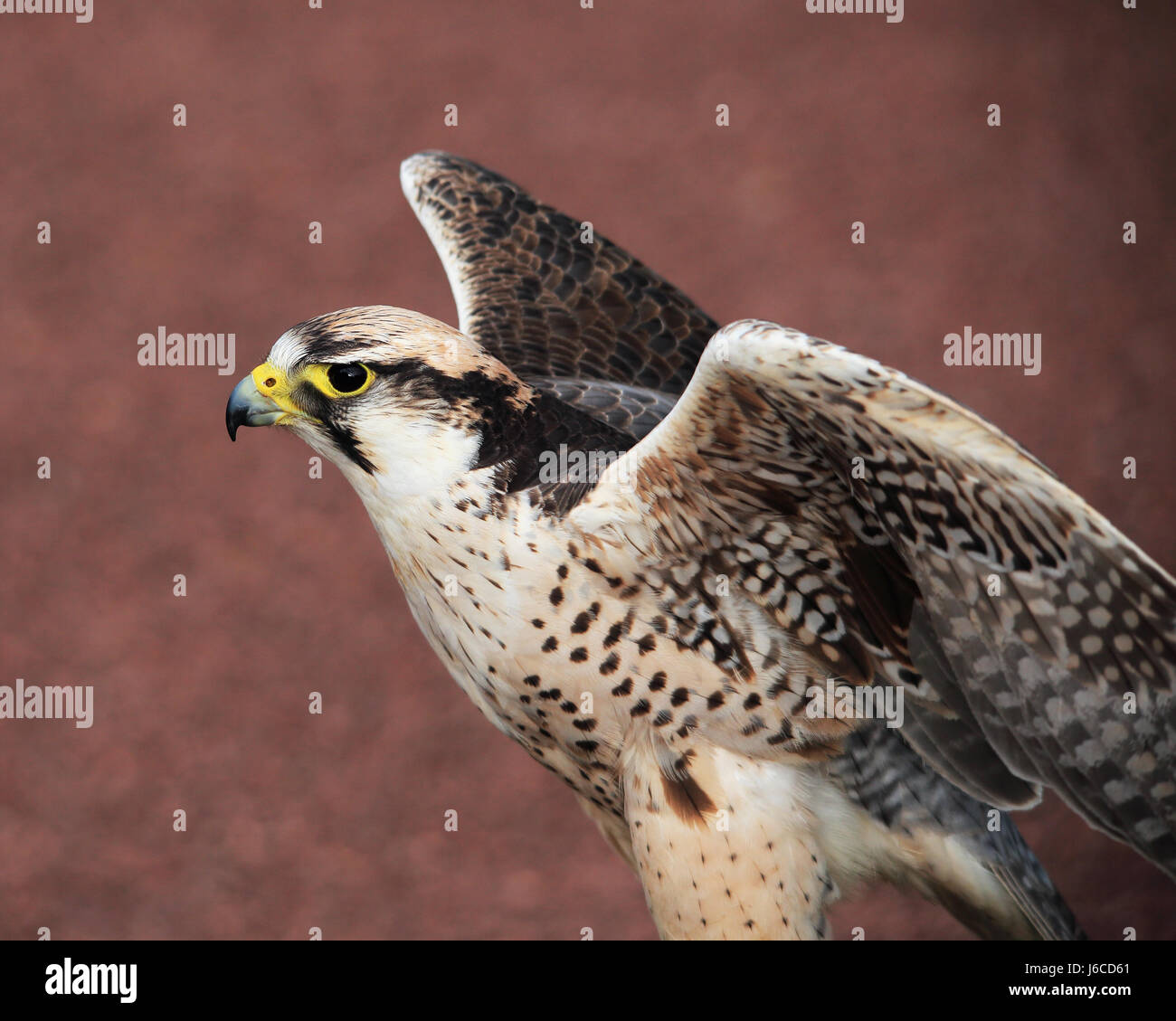 Lagger Falcon, or Luggar Falcon, flapping its wings - Stock Image