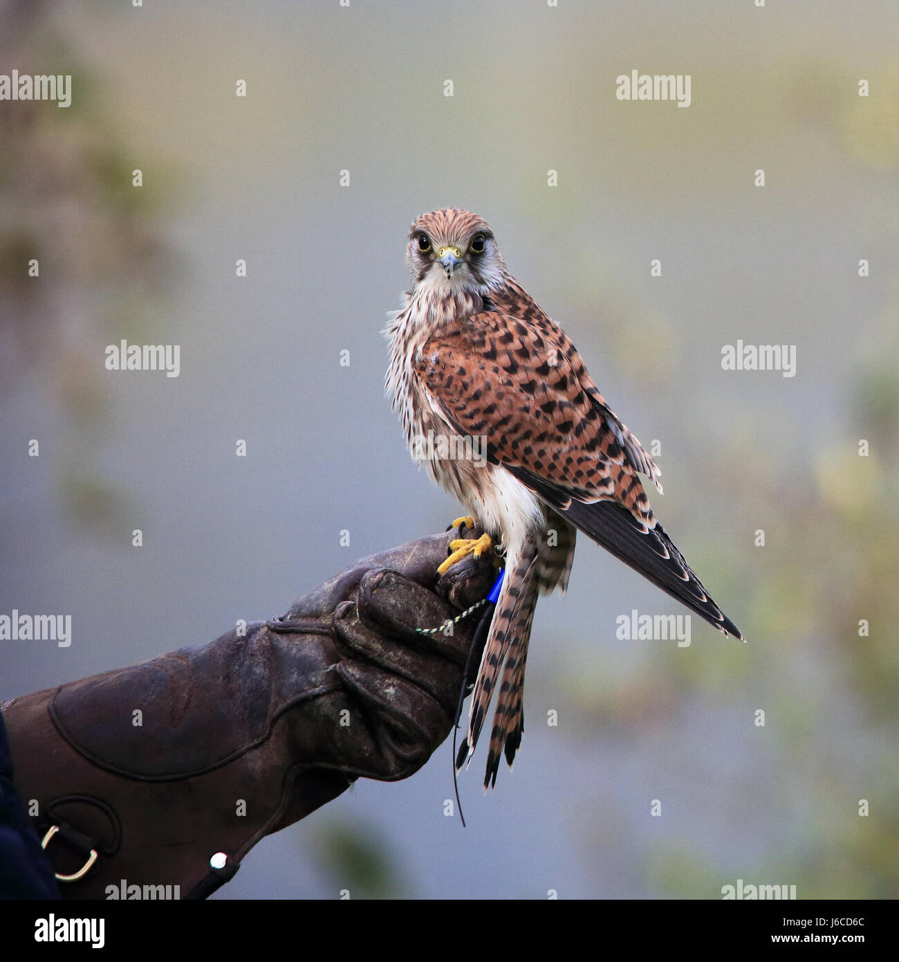 Common Kestrel, also known as European Kestrel, Eurasian Kestrel, Old World Kestrel or simply Kestrel perched Stock Photo