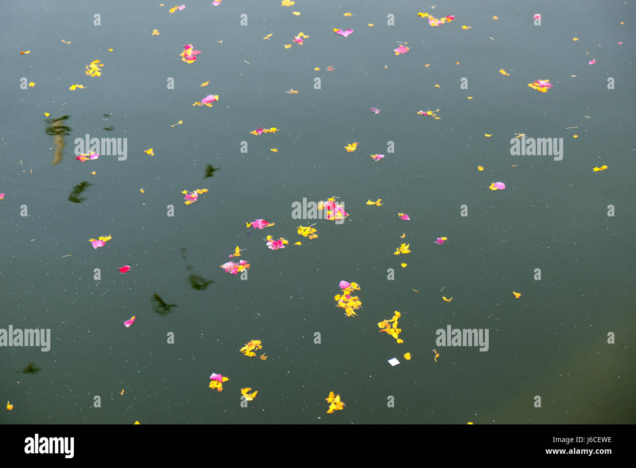 Colourful floral offerings, petals, flowers and garlands, floating in Pushkar Lake, Rajasthan, India - Stock Image