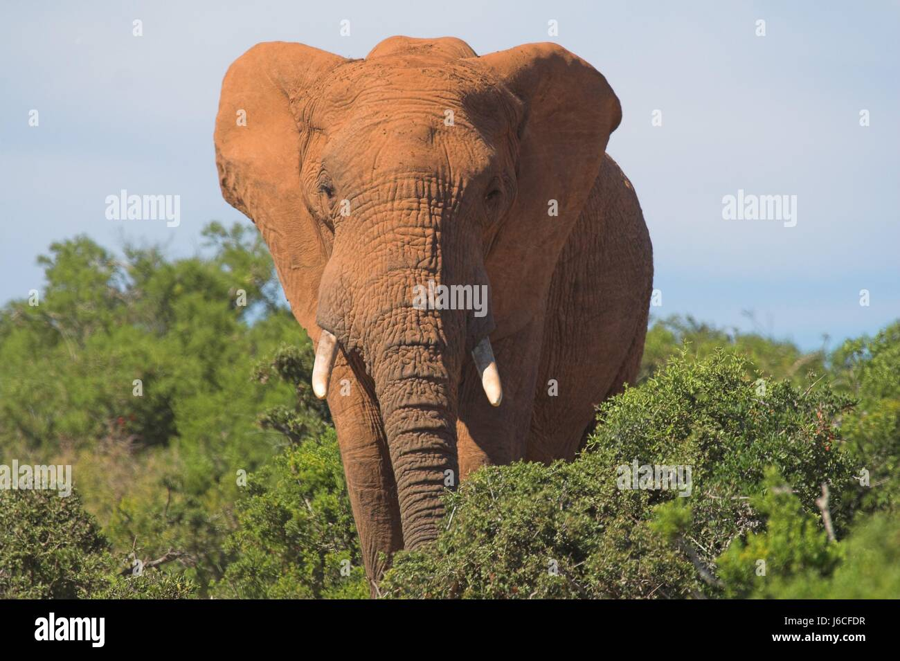 animal wild elephant ivory strong tusks tusk elephants legs travel big large - Stock Image