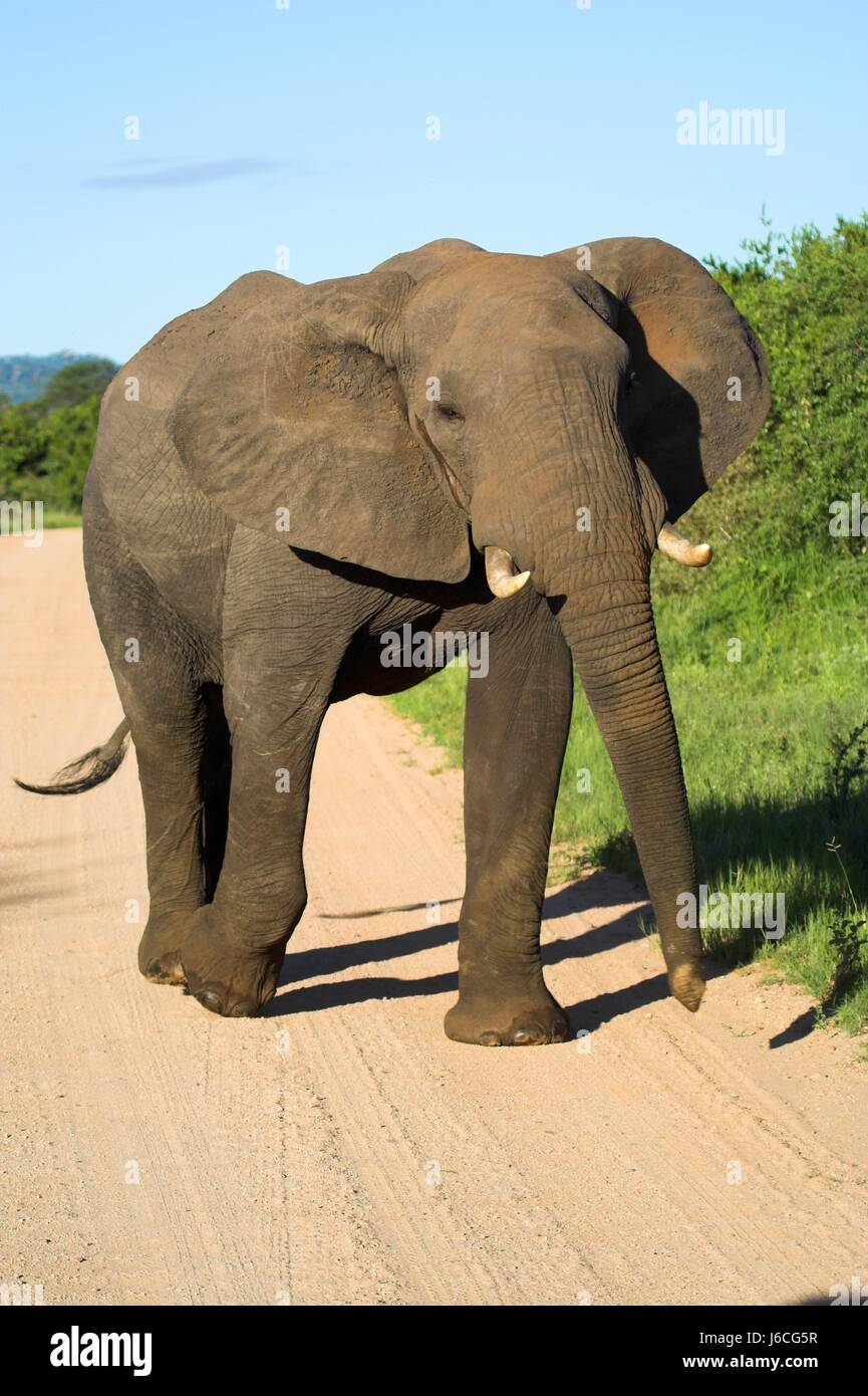 animal mammal wild elephant ivory tusks tusk elephants legs travel big large - Stock Image