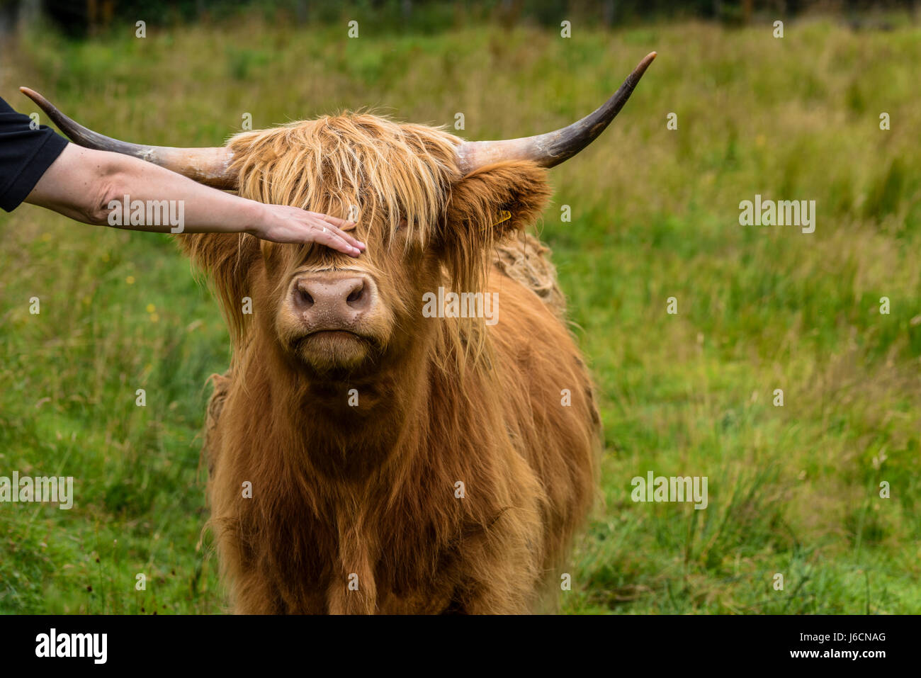 Stroking a cute cow.  highland cattle, Highlands, Scotland, United Kingdom - Stock Image