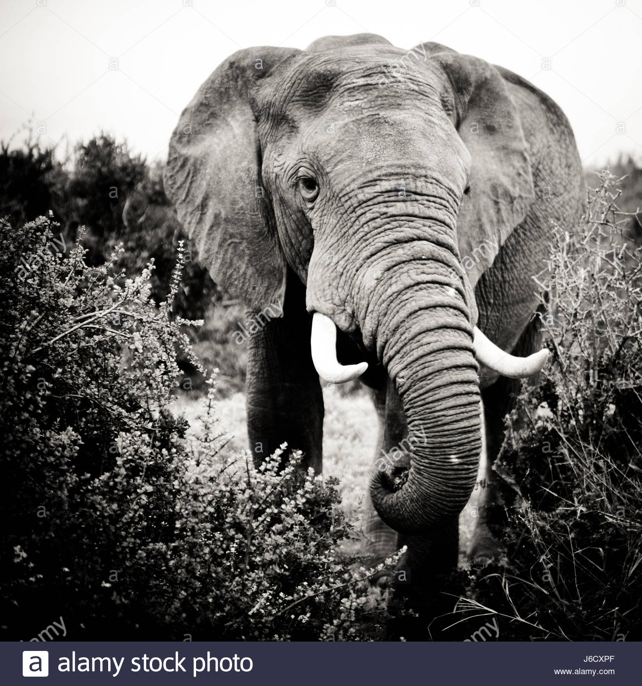African Elephants Addo Elephant Park Eastern Cape South Africa - Stock Image