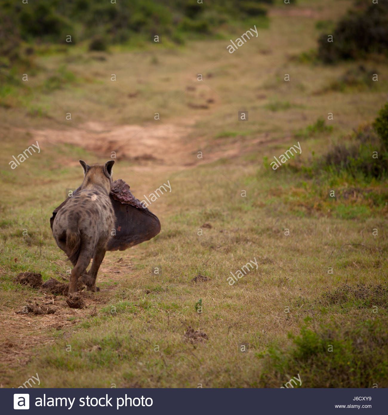 Hyena in the wild with elephant ear carrion in South Africa - Stock Image