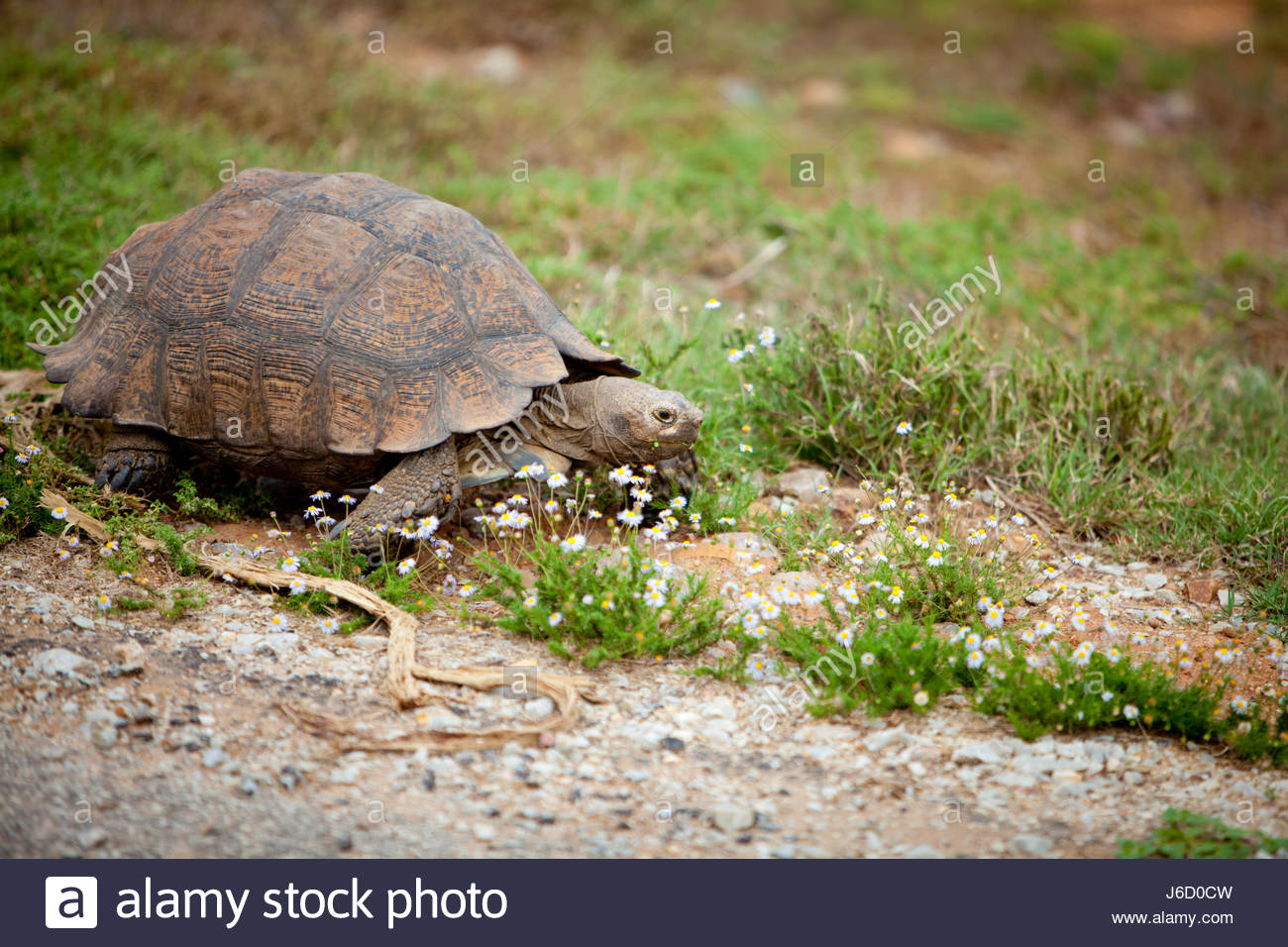 Leopard tortoise (Stigmochelys pardalis) a large and attractively marked tortoise found in the savannas of eastern - Stock Image