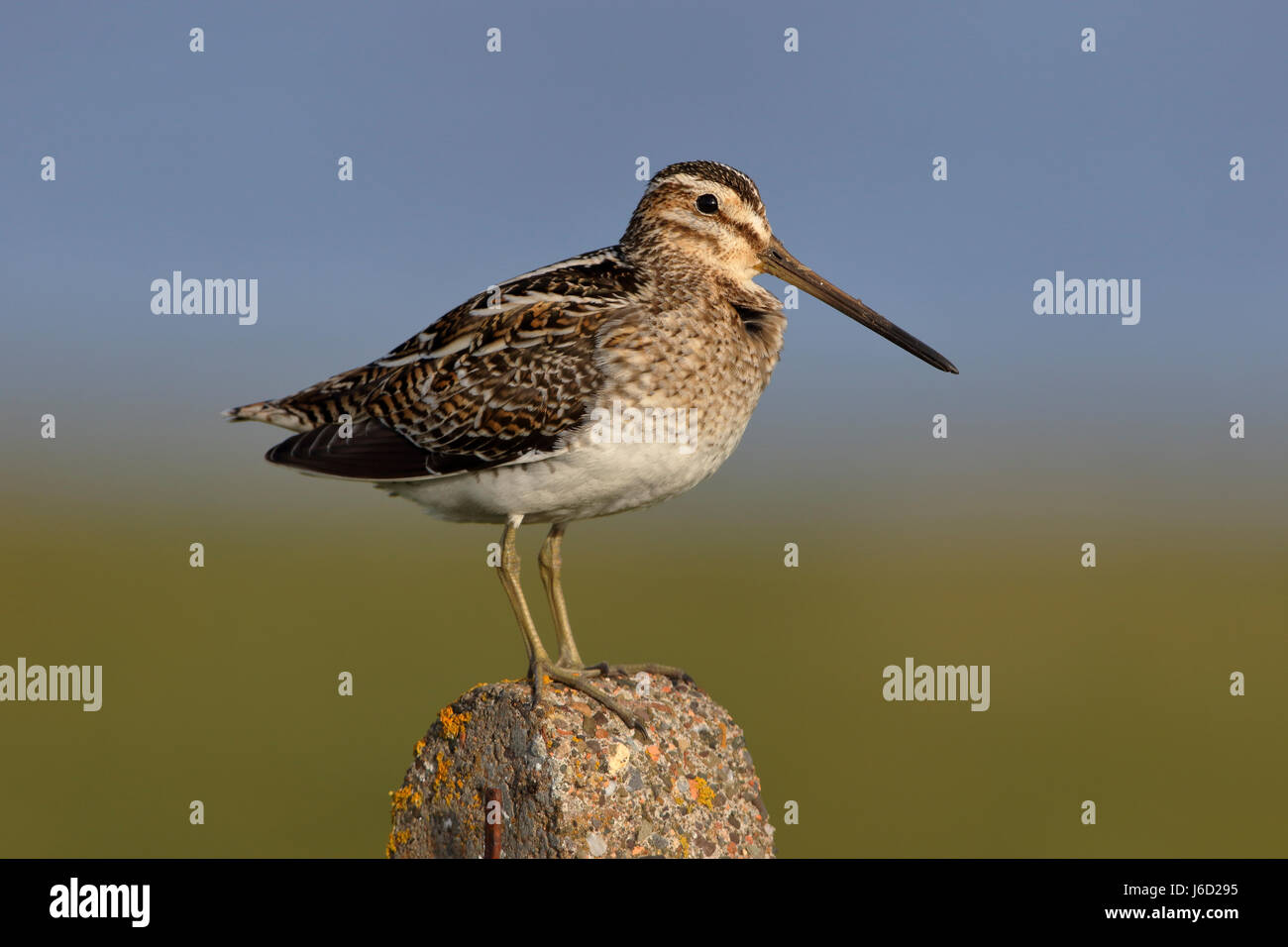 Common Snipe, Gallinago gallinago perched on a fence post, usually this sort of high vantage is a territorial watch - Stock Image