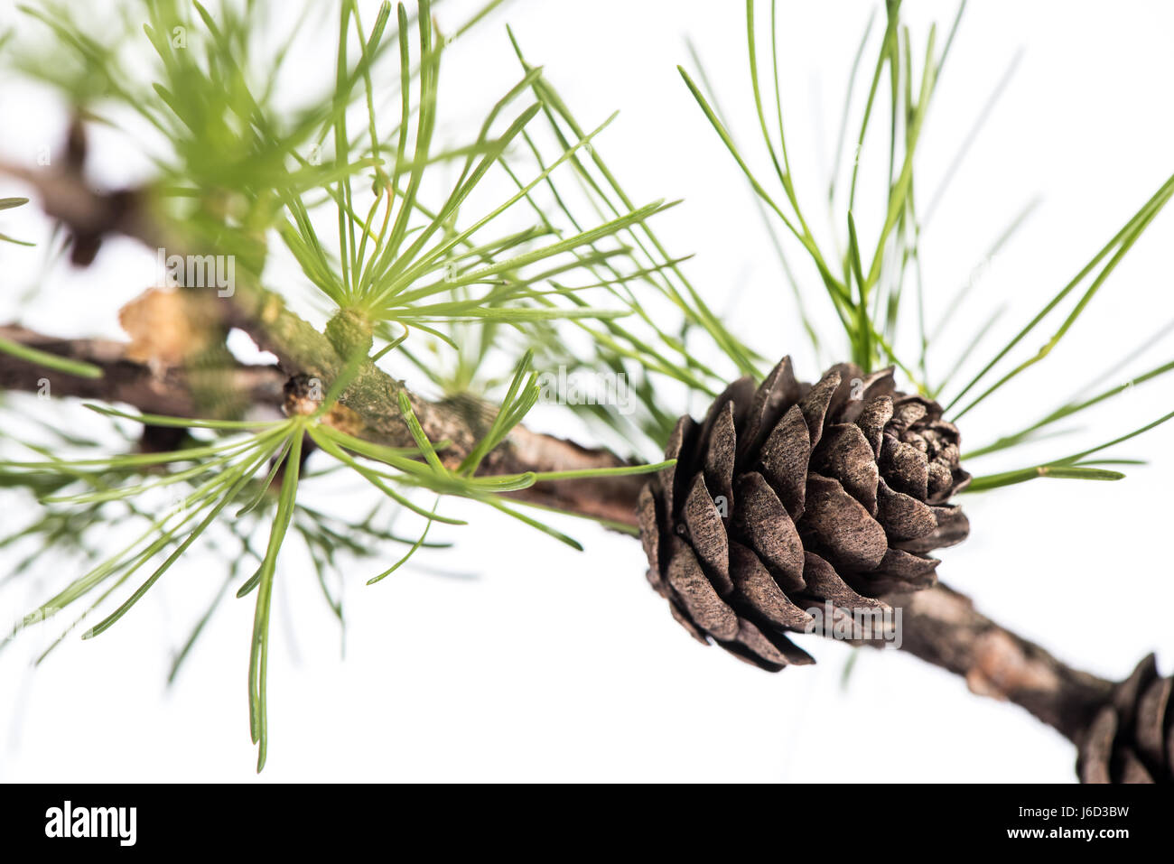 Closeup of a larch tree branch with larch cones, isolated on white background. Pine cones on branch of conifer tree. - Stock Image